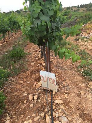 cramim morning hike chardonnay grapevines