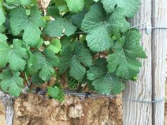 cramim morning hike grape vines up close