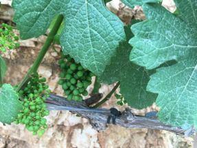 cramim morning hike grape vines with budding grapes up close