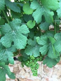 cramim morning hike grape vines with budding grapes
