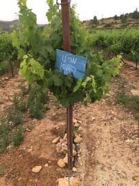 cramim morning hike merlot grapevines