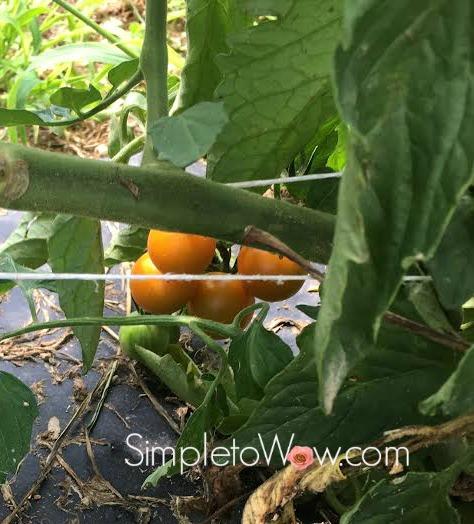 tomato in gardens