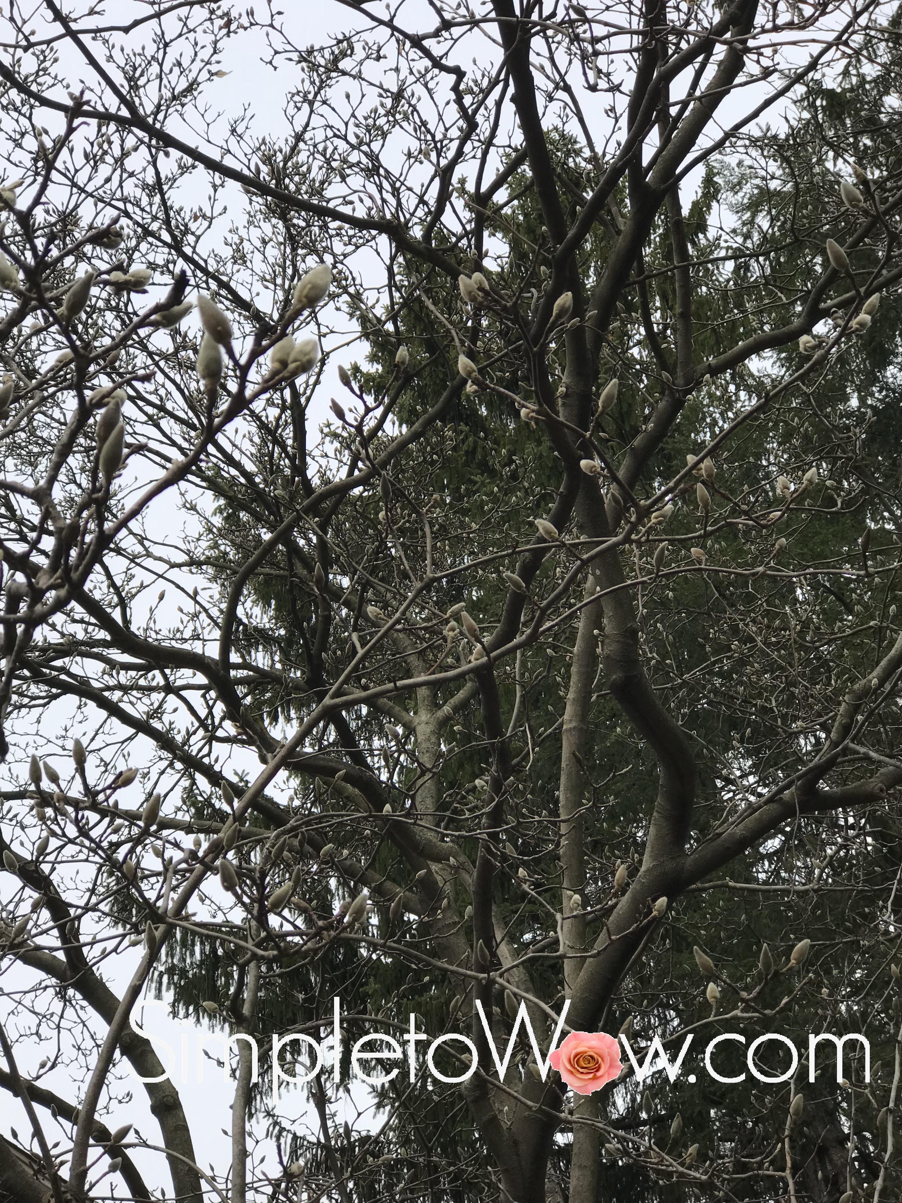 magnolia tree in february.jpg